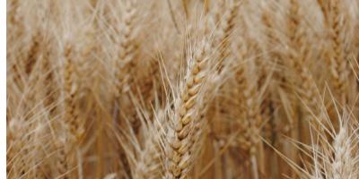 L'offre génétique en céréales à paille de RAGT